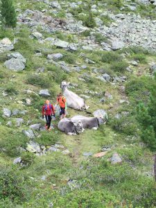 Berg-Kühe auf dem Pitztal-Trail