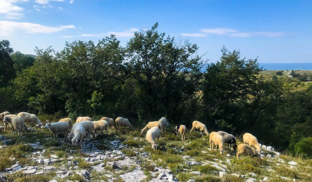 Schafe auf dem Ucka Trail